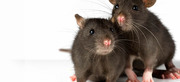 Pest Control In Point Cook | Rodent Infestation